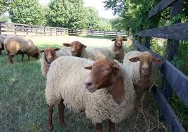 Image result for california red sheep and lambs pictures