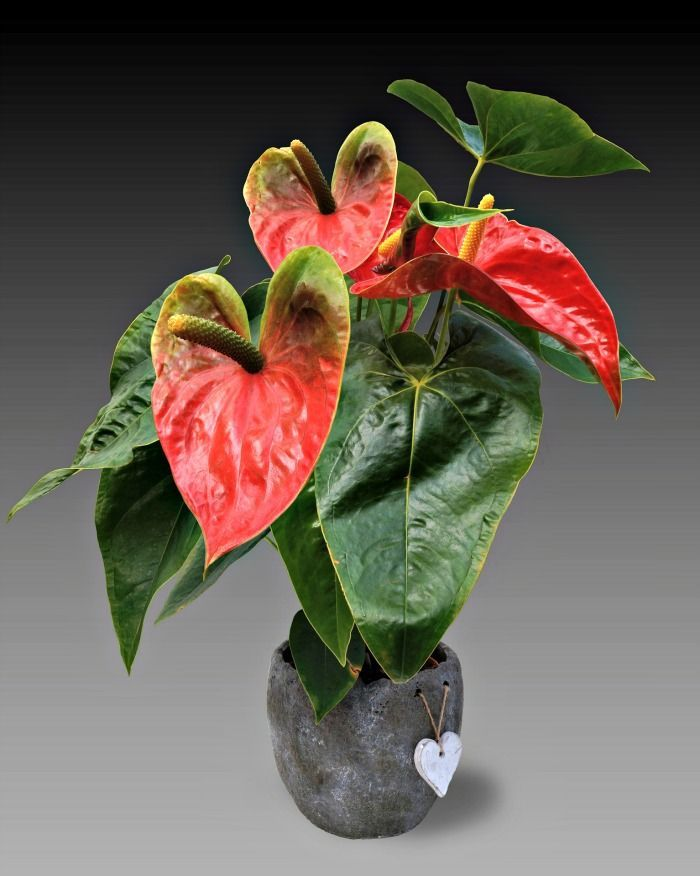 Anthurium Is A Beautiful Flowering Indoor Plant Click Through To See 14 More Plants That Bloom Indoors