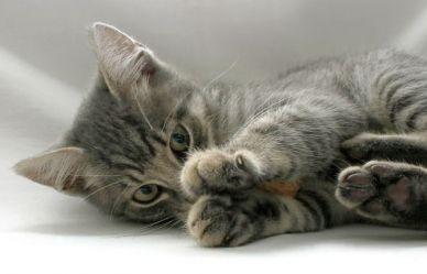 Een #kitten in huis? #hortadendauw              . Vlooien bestrijden bij katten - Horta
