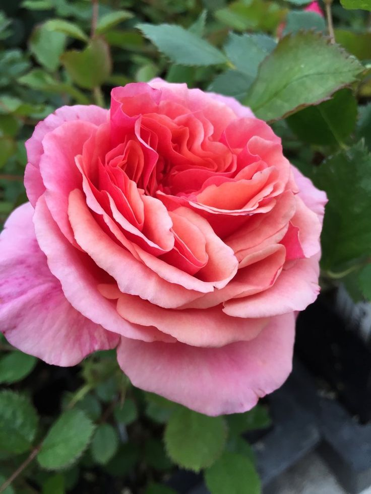 Anna's Promise (WEKdoofat)   Hybrid tea roses Rose Rose ...