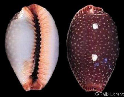 Staphylaea semiplota.  Half-extending/Little Spotted Cowry Shell size 7 - 37 mm Hawaii; Johnston Atoll