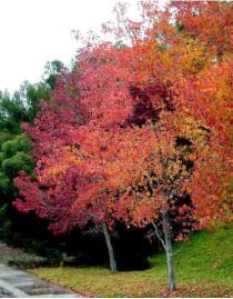 Liquidambar styraciflua - a tree that likes wet ground and does well in windy situations. Perfect for year round interest,