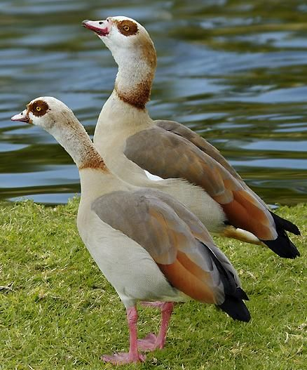 The Egyptian Goose (Alopochen aegyptiacus) is a member of the duck, goose, and swan family Anatidae. It is native to Africa south of the Sahara and the Nile Valley.