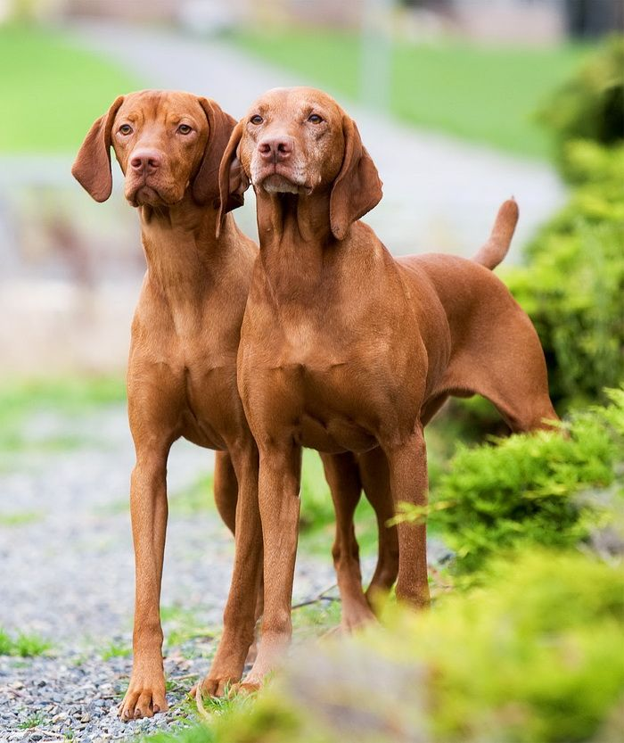The Vizsla is a distinctively different canine. It is a superior family dog as well as a true hunting companion, accepting the role of protector and friend ...