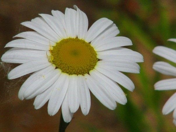 daisy ... mer bleue bog