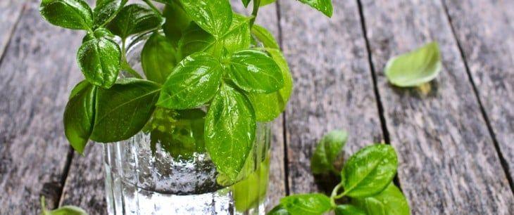バジルの水耕栽培!ペットボトルやスポンジを使った育て方は?