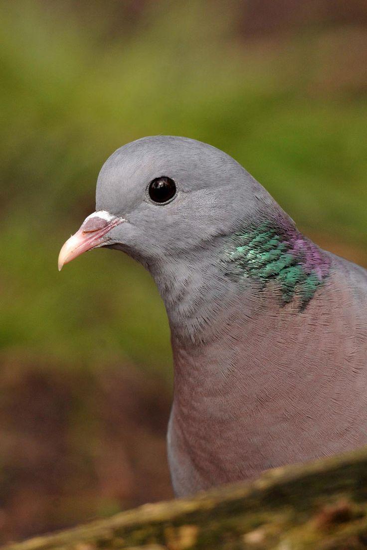 Stock dove bird