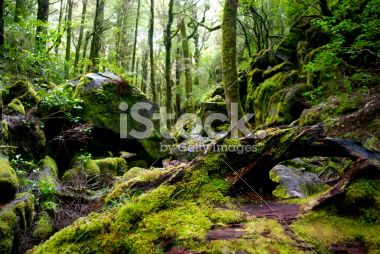 Rocks, Moss & Silver Beech (Nothofagus Menziesii) Forest Royalty Free Stock Photo