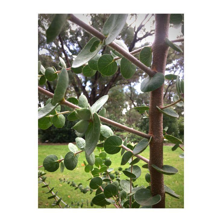 Lambertia orbifolia