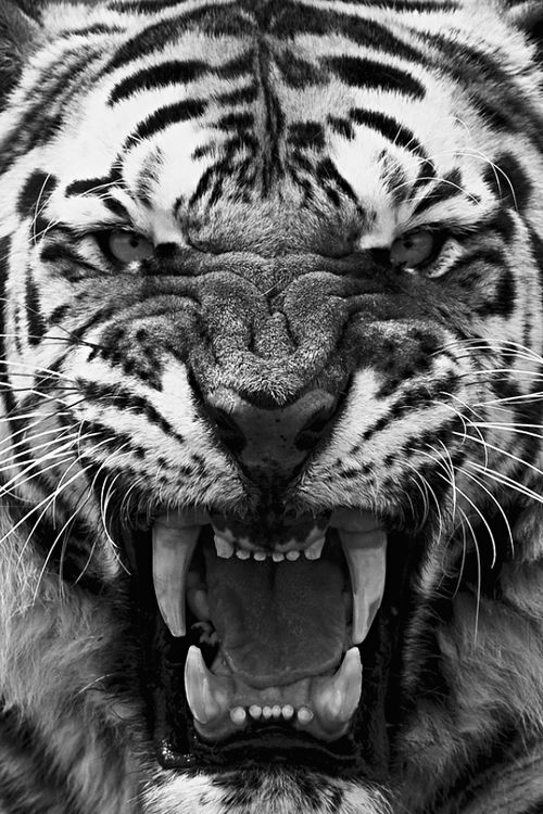32 best Black and White Tigers images on Pinterest | White ...