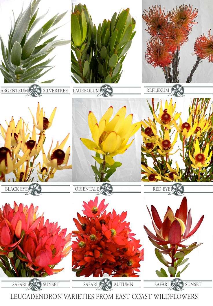 Nine of our most popular #leucadendron cut flower varieties that we grow and wholesale  #red #yellow #flowers #wedding #bouquet