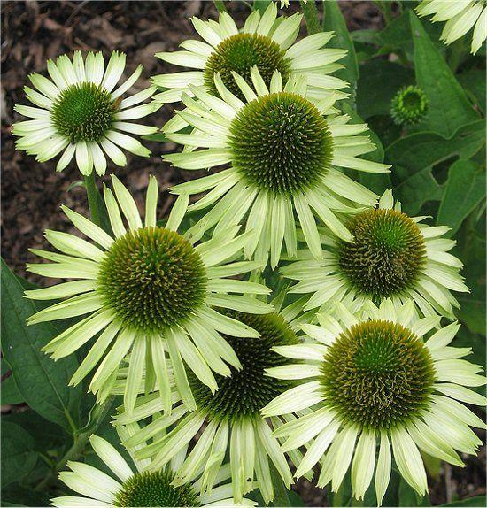 95 best plants for sun images on pinterest front gardens. Black Bedroom Furniture Sets. Home Design Ideas