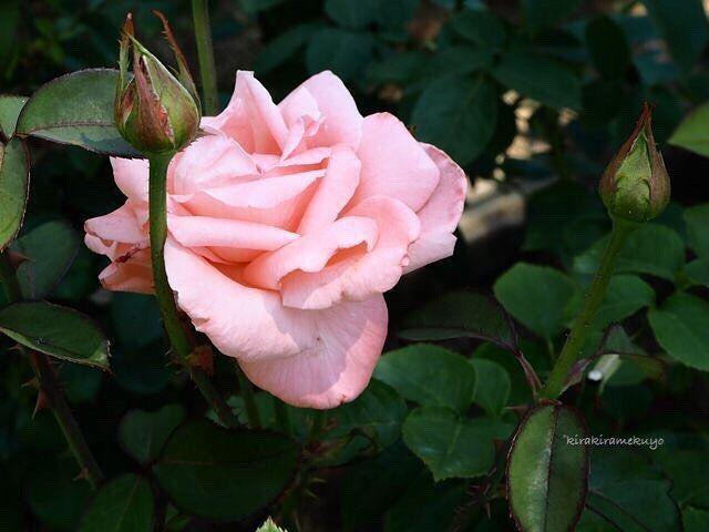 #貴重な品種 だそうです  #谷津バラ園 #フラワー #花 #バラ #薔薇 #蕾 #女神 #ピンク #はなまっぷ #flower #rose #rosebud #megami #pink #rosestagram #ig_flowers #instaflower #flowerslovers #flowersofinstagram #flowerstagram #floweroftheday  #ミラーレス一眼 #カメラ初心者 #オリンパス #オリンパスペン #オリンパス倶楽部 #olympus #olympuspen #olympuspenepl7