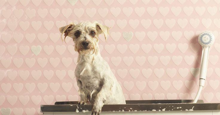 ¿Por qué un perro apesta después de un baño?. Tener un perro es gratificante en muchos sentidos. Te aman, sin importar qué, siempre están encantados de verte y te seguirán siendo fieles y leales mientras estés allí para ellos. Pero cuando tienes un perro apestoso puede ser un poco desagradable. Algunos, sin importar la frecuencia con que los bañes siguen apestando. Lee los siguientes consejos ...
