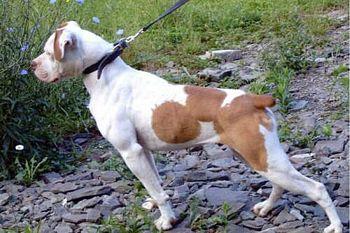 American Bulldog Scott type / AmBull Scott type