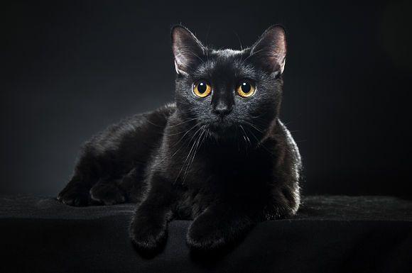 d19b0f917e8ab9fb7730617500d58a29 Бомбайската котка   с очи като медено пени
