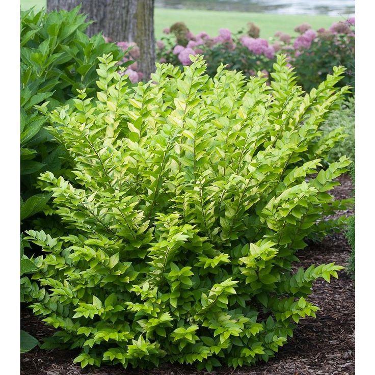 75 besten bushes shrubs and plants bilder auf pinterest. Black Bedroom Furniture Sets. Home Design Ideas