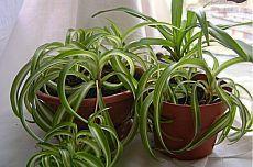 (+1) тема - Комнатные растения, которые приносят счастье | НАРОДНЫЕ ПРИМЕТЫ