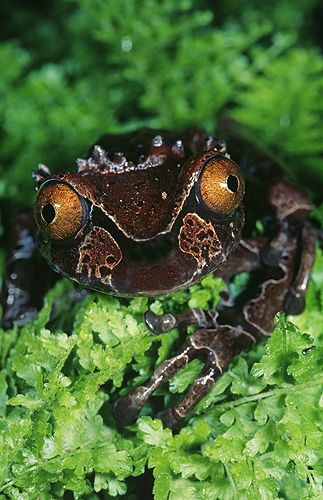 The Spiny-Headed Tree Frog, Anotheca spinosa, is found in Costa Rica, Honduras, Mexico, and Panama