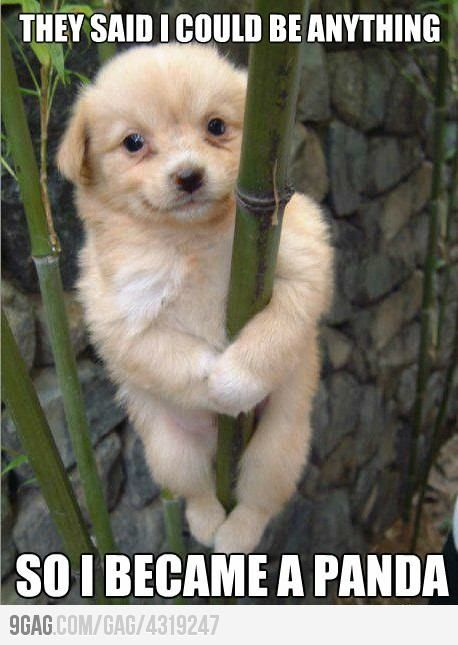 Evolution.: Ringtail, Pandas Dogs, Pandas Bears, Funny Stuff, Funny Dogs Pictures, Funny Animal, Animal Funny, Cute Dogs, Pole Dance