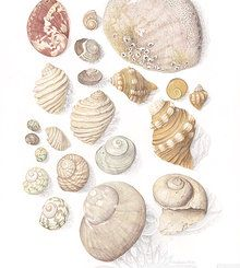 Natural History Illustration by Stephanie Holm. Watercolour, shell plate. Finalist in the Waterhouse Natural Science Art Prize 2013.