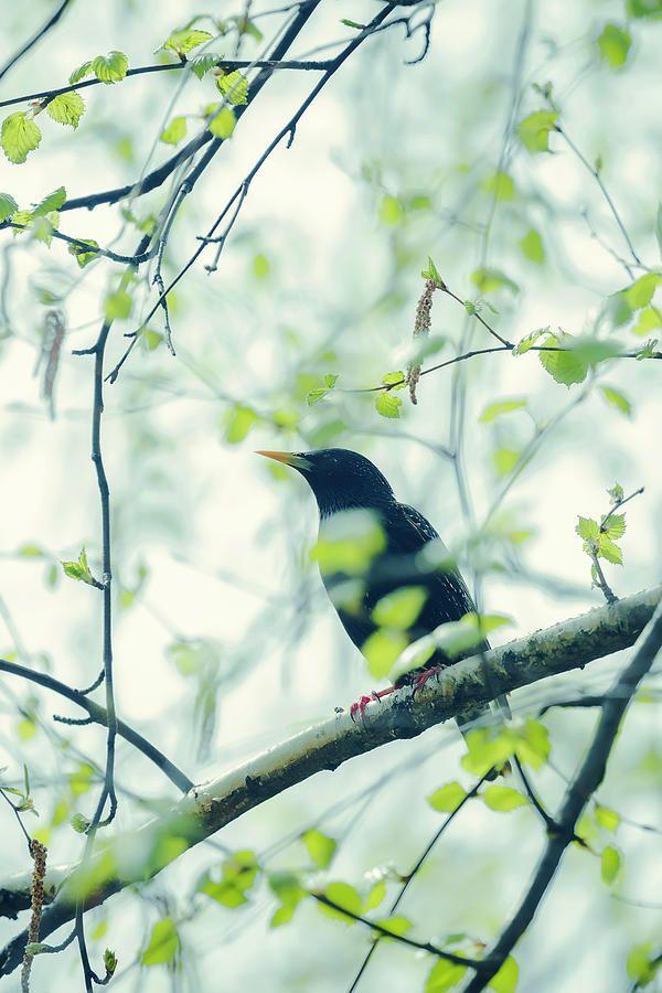 Starling On A Branch  Photograph by Oksana Ariskina #OksanaAriskina #OksanaAriskinaFineArtPhotography #ArtForHome #FineArtPrints #InteriorDesign #PrintsForSale  #Summer #Spring #Bird #Starling #Birch #Songbird