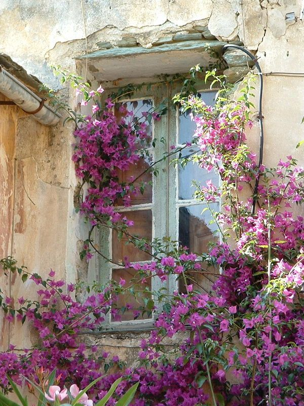 Love the lavender flower climbing on blue trellis!!