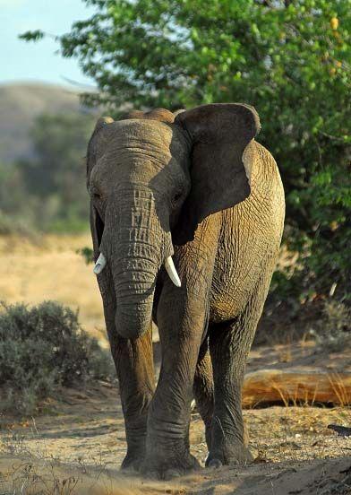Young male elephants drylands