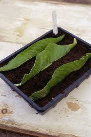 How to Propagate Streptocarpus by leaf cuttings  ... Three Methods are described and illustrated here ---http://www.worldofstreps.com/propagation.htm