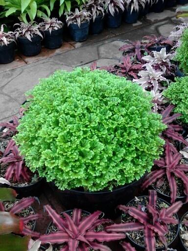 hijau daun