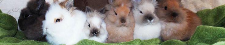 élevage de lapins nains - Site de lessucresdorge !