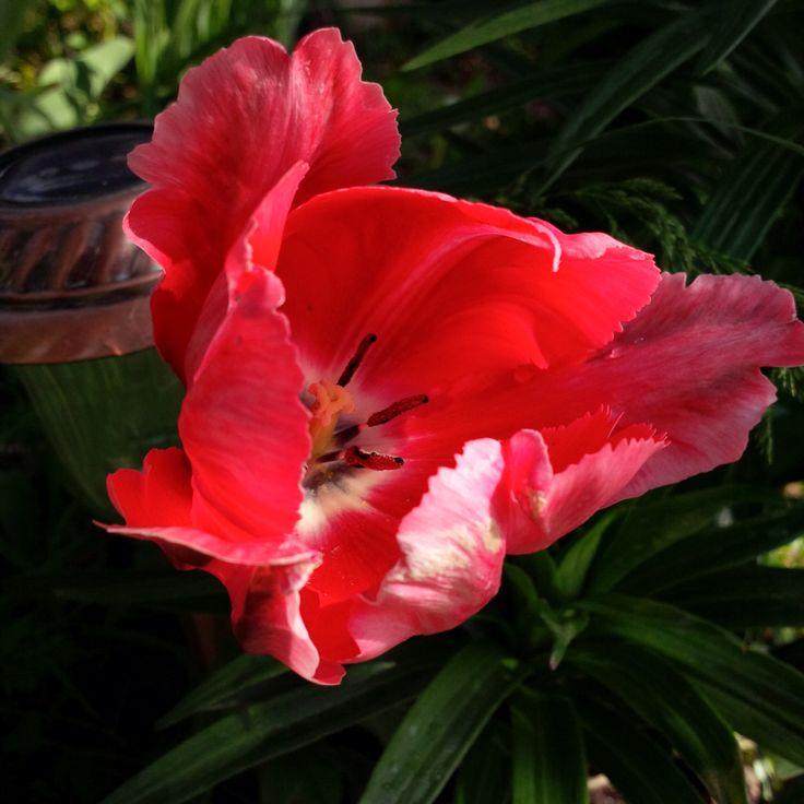Inside Parrot Tulip