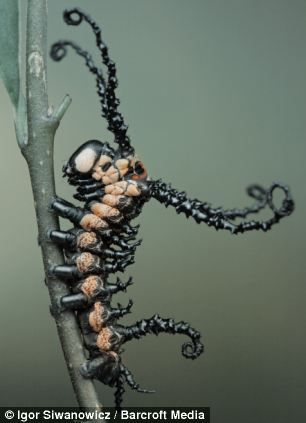 Brahmin moth caterpillar