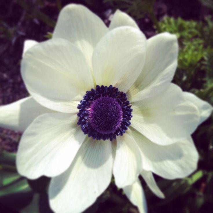 Fransk anemone. Pernilles Have april 2014