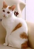 gatto rosso bianco