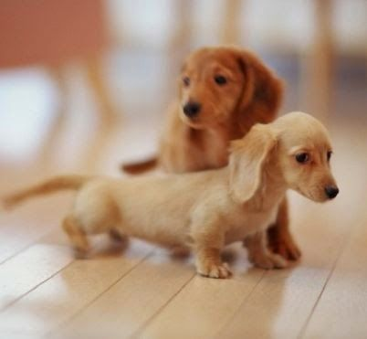 Top 10 Smallest Dog Breeds-- generally I don't like small dogs, but these cute little dachshunds seem nice