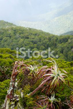 Mountain Neinei (Dracophyllum traversii) , New Zealand Royalty Free Stock Photo