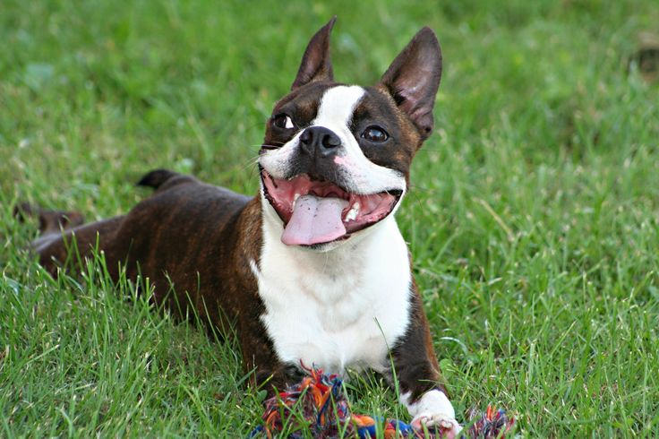 brindle Boston Terrier , puppy