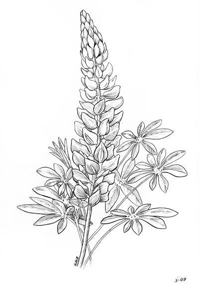 lupine no flowers at the stem flower sketch images