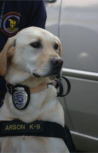 Rocket, a Golden Retriever, serves Los Angeles as an arson K-9. Police Dogs - policemag.com - POLICE Magazine
