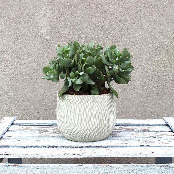 Planta Crassula | Bourguignon. Floristería Madrid