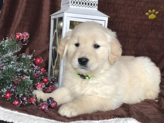 Goldenretrieverpuppy Goldenretriever Retrievers Charming Puppiesofpinterest Pinterestpuppies Lancasterpu Golden Retriever Puppy Puppies Golden Retriever