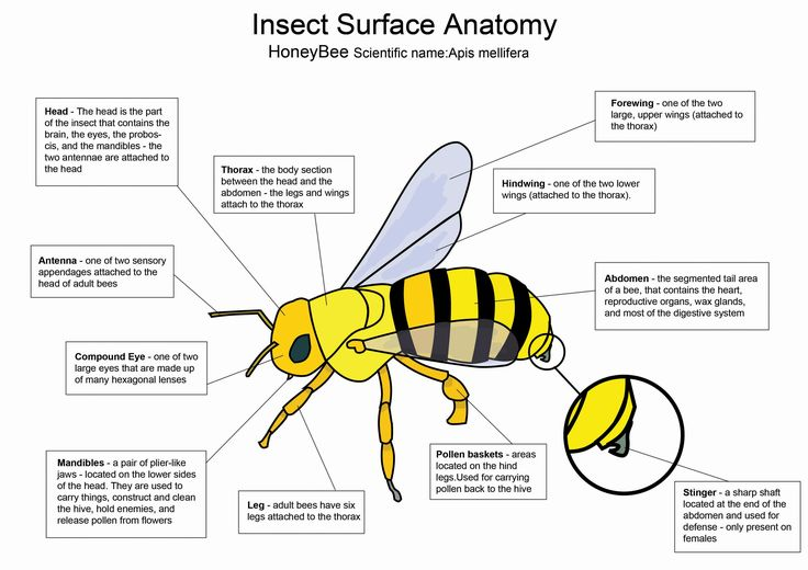 honey bee diagram by on. Black Bedroom Furniture Sets. Home Design Ideas