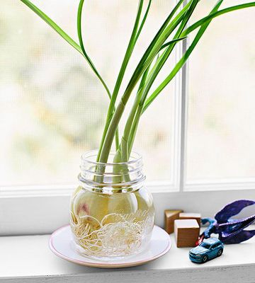 Tightly pack several peeled garlic cloves in a small container and cover them with water. Roots should appear within the first few days, then sprouts will emerge from the cloves' tops within a week.                 Originally published in the February 2014 issue of FamilyFun magazine.