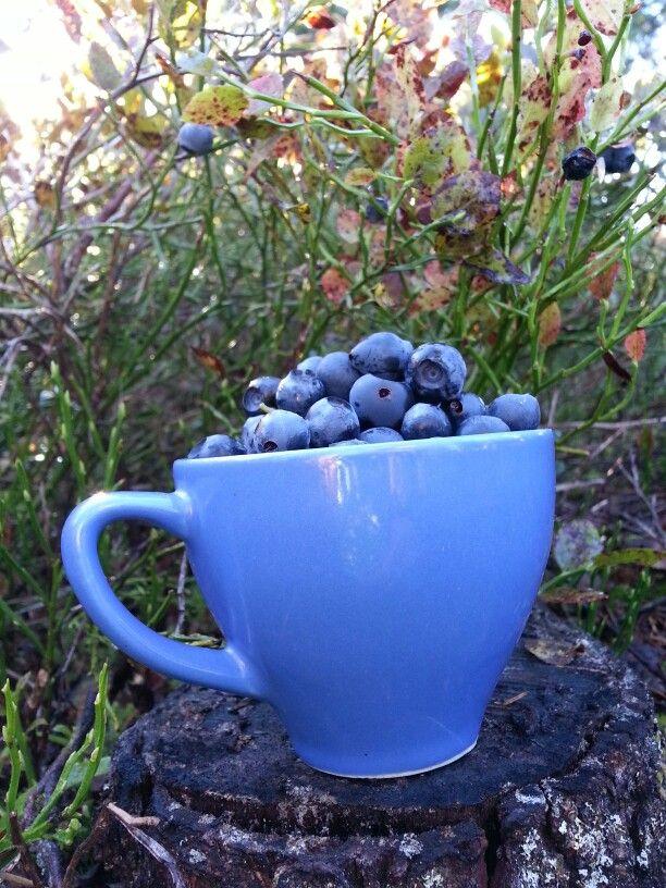 Livskvalitet. ..att kunna gå utanför sin stugdörr och plocka en kopp med vitaminkryllande blåbär till frukostyoghurten!