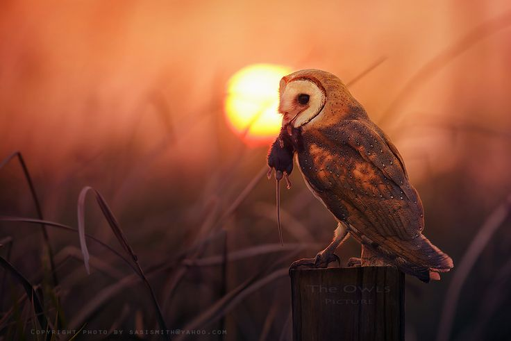 FB/The Owls Picture by Sasi - smit on 500px