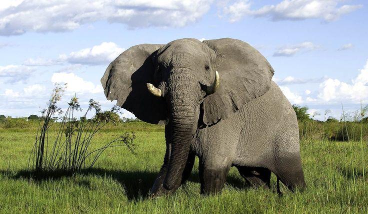 www.sunsafaris.com #elephant #Mombo #Camp #Okavango #Delta #Botswana