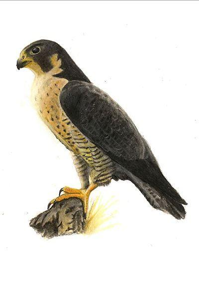 Ilustración del Halcón Peregrino
