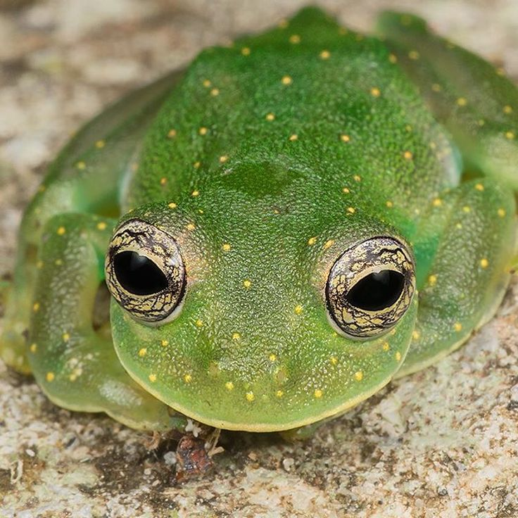 Cascade Glass Frog (Cochranella albomaculata)