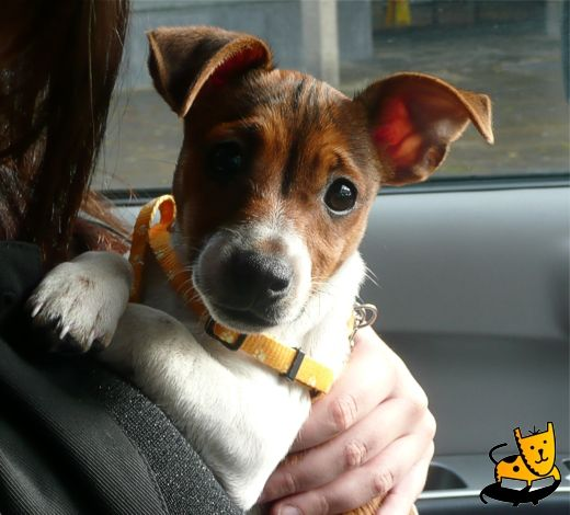 Adorable Jack Russell - what a face!